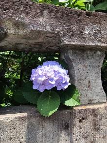 紫陽花.jpeg